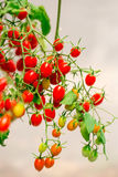Red cherry tomato Stock Photography