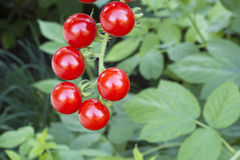 Red cherry tomatoes. Bunch of six red and juicy cherry tomatoes Royalty Free Stock Photo