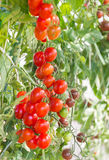 Red cherry tomatoes in greenhouse Stock Photography