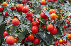 Red cherry tomatoes are grown in the city`s botanical garden royalty free stock image