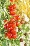 Red cherry tomatoes in organic farm Royalty Free Stock Photos