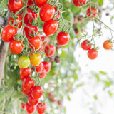Red cherry tomatoes in organic farm Stock Photo