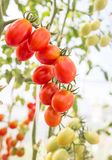 Red cherry tomatoes in organic farm Royalty Free Stock Photo