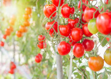 Red cherry tomatoes in organic farm Royalty Free Stock Image