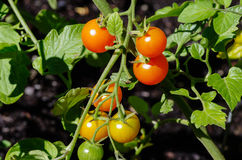 Red cherry tomatoes on the vine. In a garden Royalty Free Stock Photos