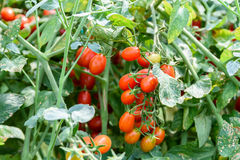 Red Cherry Tomatoes On Vine In Greenhouse Royalty Free Stock Photo