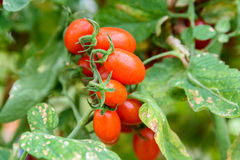 Red Cherry Tomatoes On Vine In Greenhouse Stock Photo