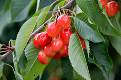 Red cherry on tree Stock Photography