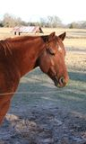 Red Chestnut Gelding Quarter Horse. In pasture. farm. texas Stock Photos