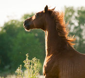 Red chestnut horse portrait with backlight on sunrise Royalty Free Stock Images