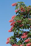Red chestnut in spring against a blue sky Stock Images