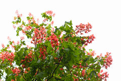 Red chestnut tree flowers Royalty Free Stock Photos