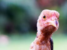 Red chick. In a palm garden Royalty Free Stock Images