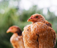Red chick. In a palm garden Stock Photos