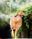 Red chick. In a palm garden Royalty Free Stock Photography