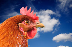 Red Chicken on Blue Sky Background Stock Images
