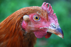 Red Chicken Close-Up Photo Stock Photo