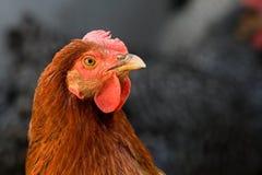 Red chicken closeup Stock Photo