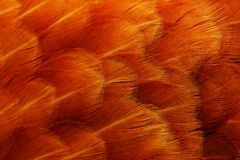Red Chicken Feathers Macro. A high-quality macro shot of red chicken feathers - horizontal orientation Royalty Free Stock Photos