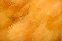 Red Chicken Feathers Macro Stock Photo