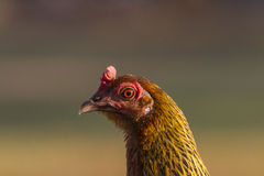Red Chicken Head Close-Up Royalty Free Stock Image
