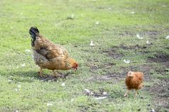 Red chicken mother with chickens walking in a green yard and looking for food. Eating green grass royalty free stock photos
