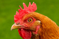 Red Chicken in Profile Close-Up Royalty Free Stock Image