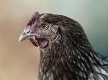 Red Chicken in profile Stock Photography