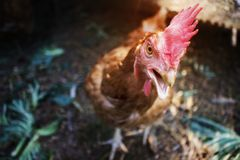 The red chicken is walking on the farm to find food stock photography