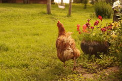 Brown chicken in the yard Royalty Free Stock Image