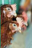 Red chickens. In cell sections Stock Photography