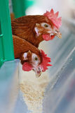 Red chickens Royalty Free Stock Images