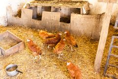 Red chickens in the barn with hay. Village food production concept with domestic animals. Chickens eating food in the stock images