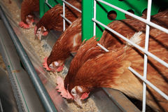 Red chickens in cell sections. Red Chickens near feeders (in cell sections stock photos