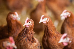 Red chickens on free range farm Stock Image