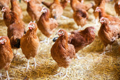 Red chickens on free range farm, rossa, free poultry Royalty Free Stock Photo
