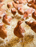 Red chickens on free range farm, rossa Royalty Free Stock Photography