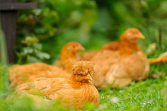 Red Chickens Resting on Green Grass Stock Photos