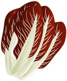 Red chicory isolated illustration Stock Images