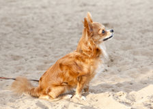 Red  chihuahua on the beach sand Royalty Free Stock Images