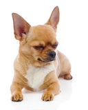 Red chihuahua dog with closed eyes isolated on white background. Stock Image