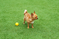 Red chihuahua dog on green grass. Stock Photos