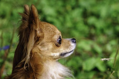 Red chihuahua dog head side view close-up Stock Photography