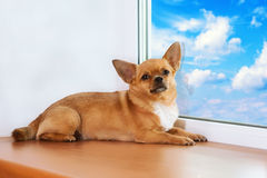 Red chihuahua dog lies on windowsill at window. Royalty Free Stock Image