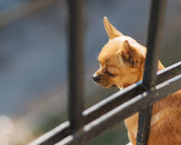 Red chihuahua dog looking down. Red chihuahua dog looking down from the balcony of the house Royalty Free Stock Photography