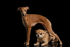 Red Chihuahua dog Lying under Standing Italian Greyhound isolated Black Stock Photography