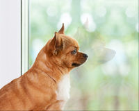 Red chihuahua dog near window. Stock Photography