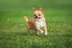 Happy red chihuahua dog running on grass royalty free stock photo