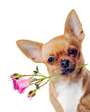 Red chihuahua dog with pink rose. Stock Photos