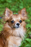Red chihuahua dog portrait Royalty Free Stock Images